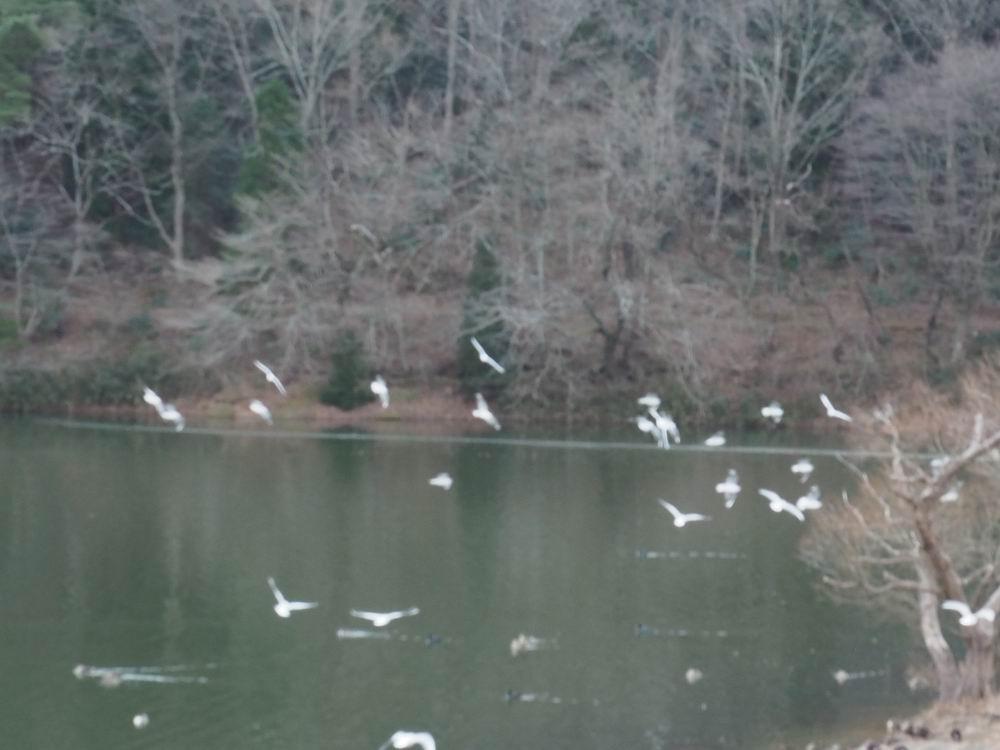 加瀬沼公園の加瀬沼の野鳥