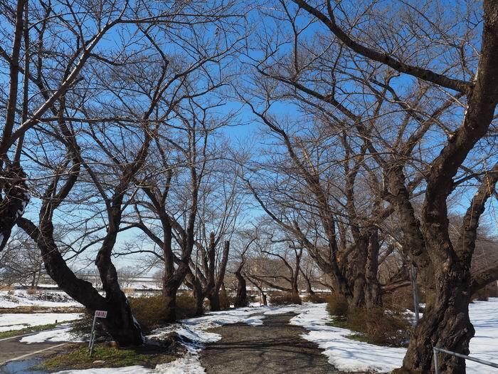 展勝地の桜の散策道でのアーケードの場所