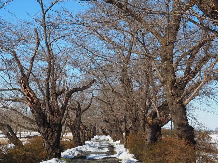 展勝地の桜の絶景の場所の咲く前の風景