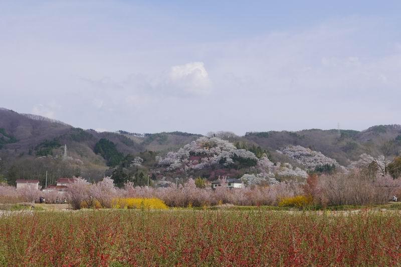 花見山公園の桜の風景写真