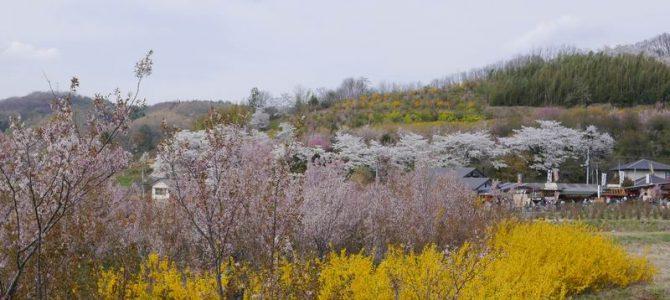 花見山公園の花の風景写真