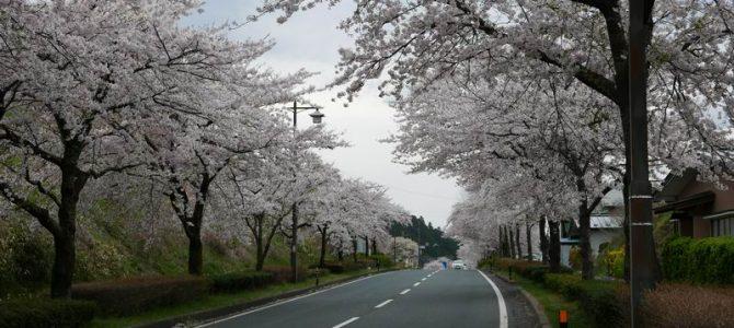 平泉県道300号線の桜の風景