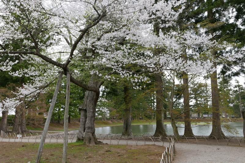 毛越寺小泉ヶ池の周辺の桜の風景