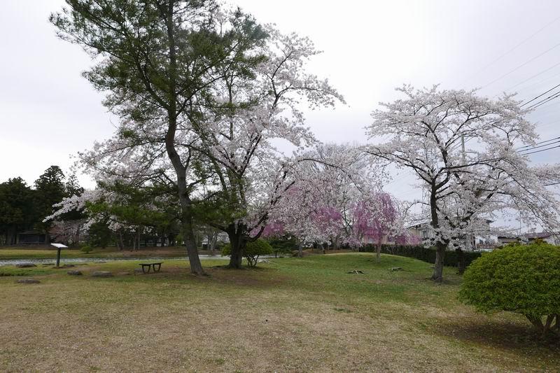 観自在王院跡の桜の風景