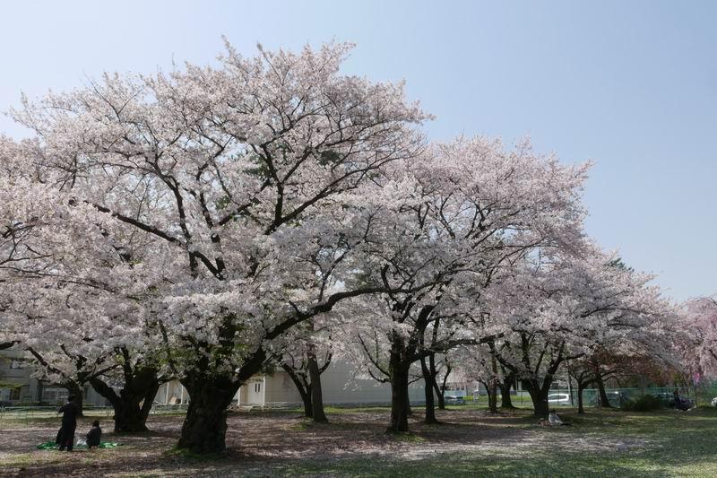 前九年公園の桜の風景写真
