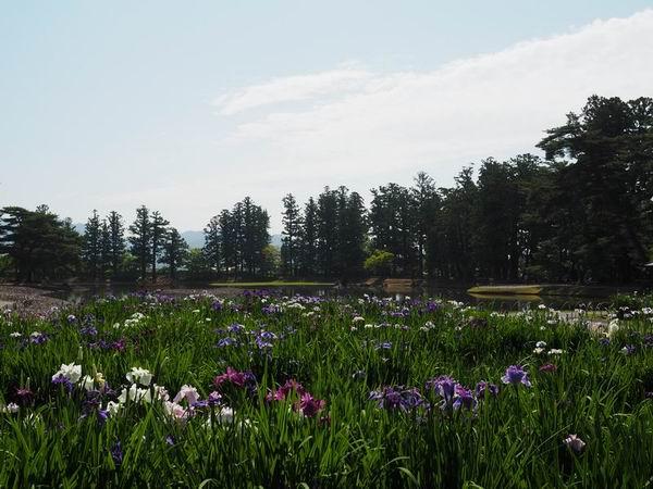 毛越寺あやめ祭りの風景写真