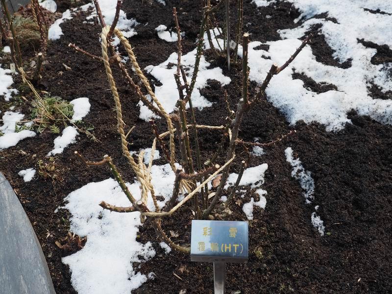 円通院の冬のバラの状態