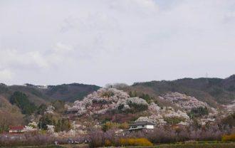 福島花見山公園の桜の風景