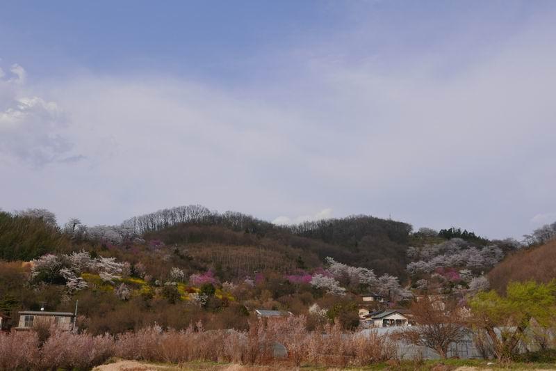 花見山公園の風景写真