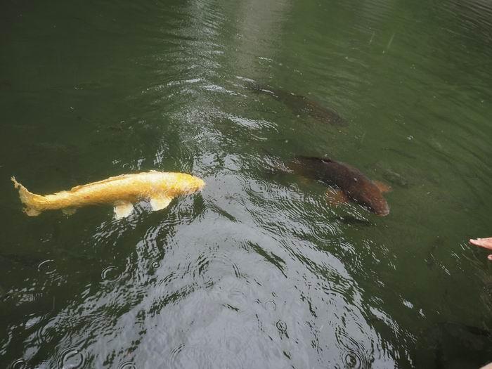 猊鼻渓舟下りによって来る鯉の画像!