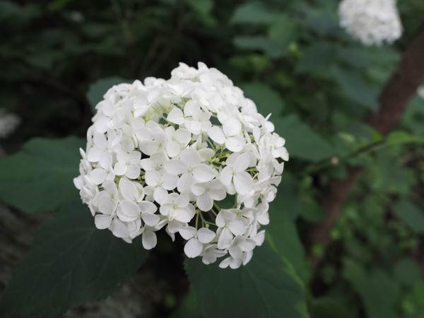 みちのく紫陽花園アナベルの開花状況写真