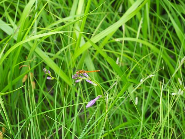 世界谷地湿原のトンボ
