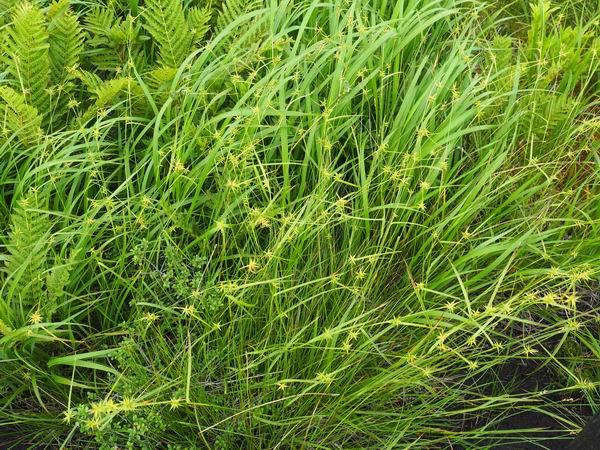 世界谷地原生花園のキンコウカの写真