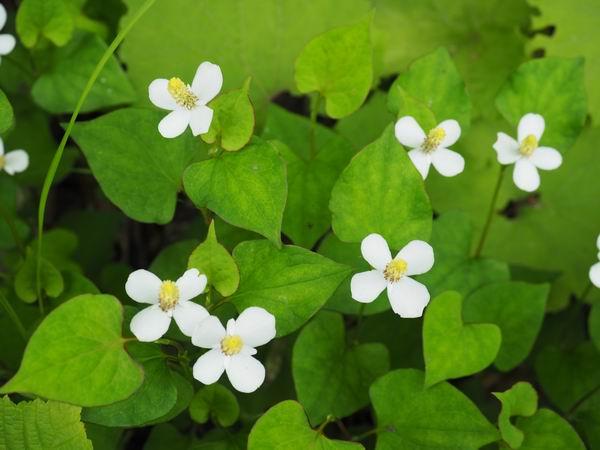 世界谷地原生花園の花の写真