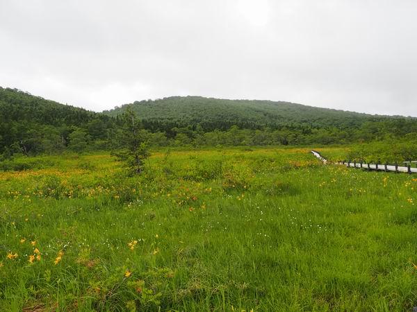 世界谷地第一湿原のニッコウキスゲの群生状況写真