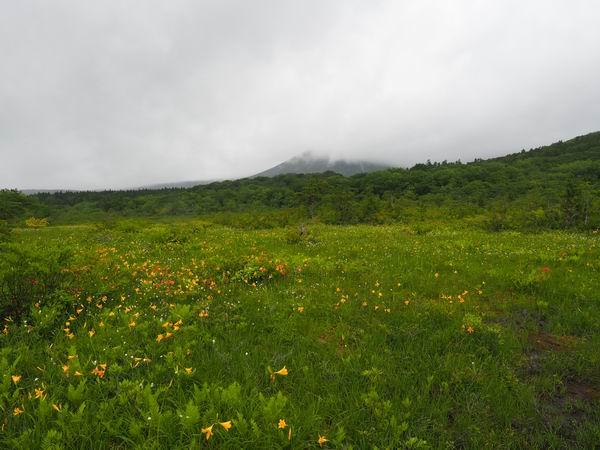 世界谷地第一湿原のニッコウキスゲが咲いてる写真
