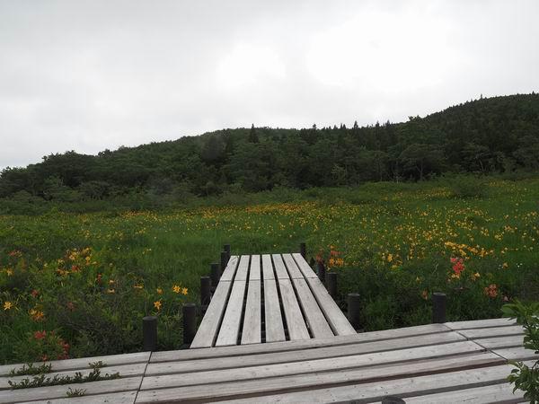 木道のそばのニッコウキスゲの写真