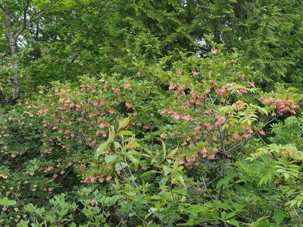 世界谷地第一湿原のサラサドウダンの咲いてる木の写真