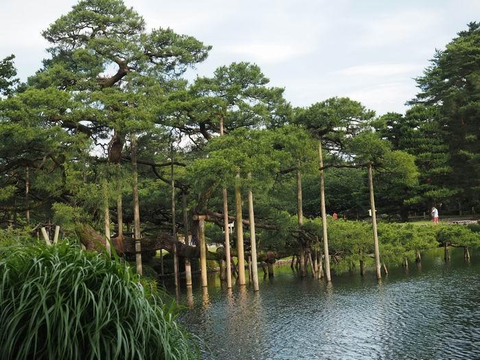 兼六園の唐崎松の風景写真