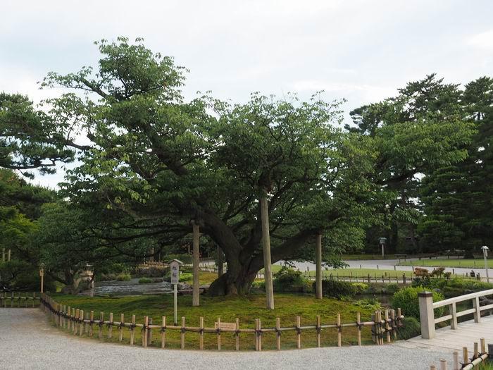 兼六園の旭桜の風景写真