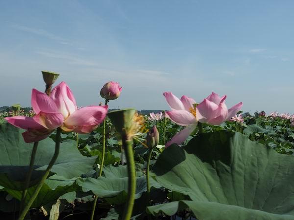 伊豆沼のハスまつりの写真画像