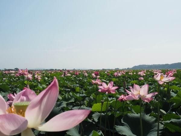 伊豆沼の蓮まつりの蓮の開花状況の写真