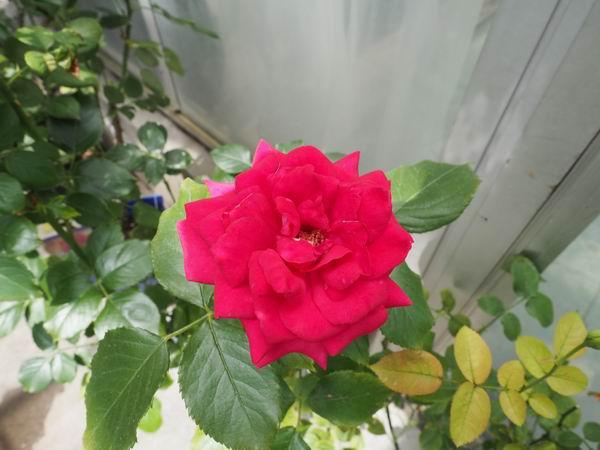 花巻温泉のバラ園の赤いバラ