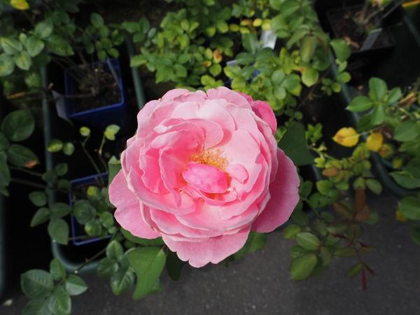 花巻温泉のバラ園のピンクのバラ