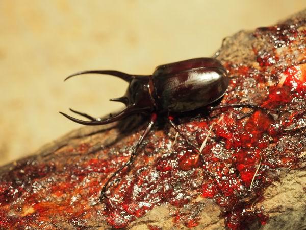 鬼首世界の昆虫館のカブトムシやクワガタの写真