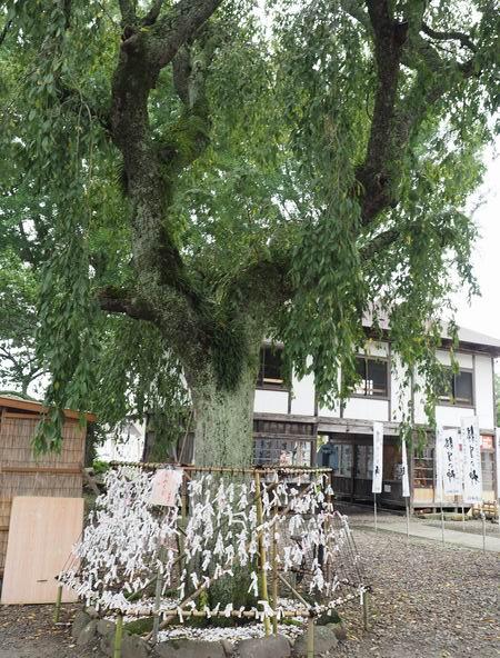 秋保神社の枝垂れ桜の風景写真