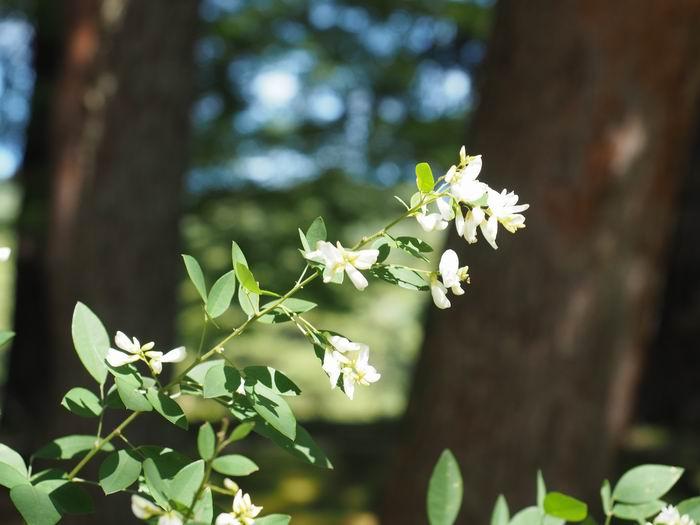 毛越寺萩まつりの風景写真の萩の白い花