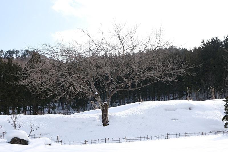 xt3撮影レビュー庭の桜の木