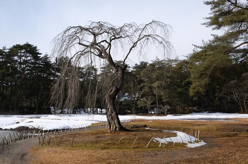 xt3で撮影する毛越寺大泉ヶ池の冬の桜の木の写真